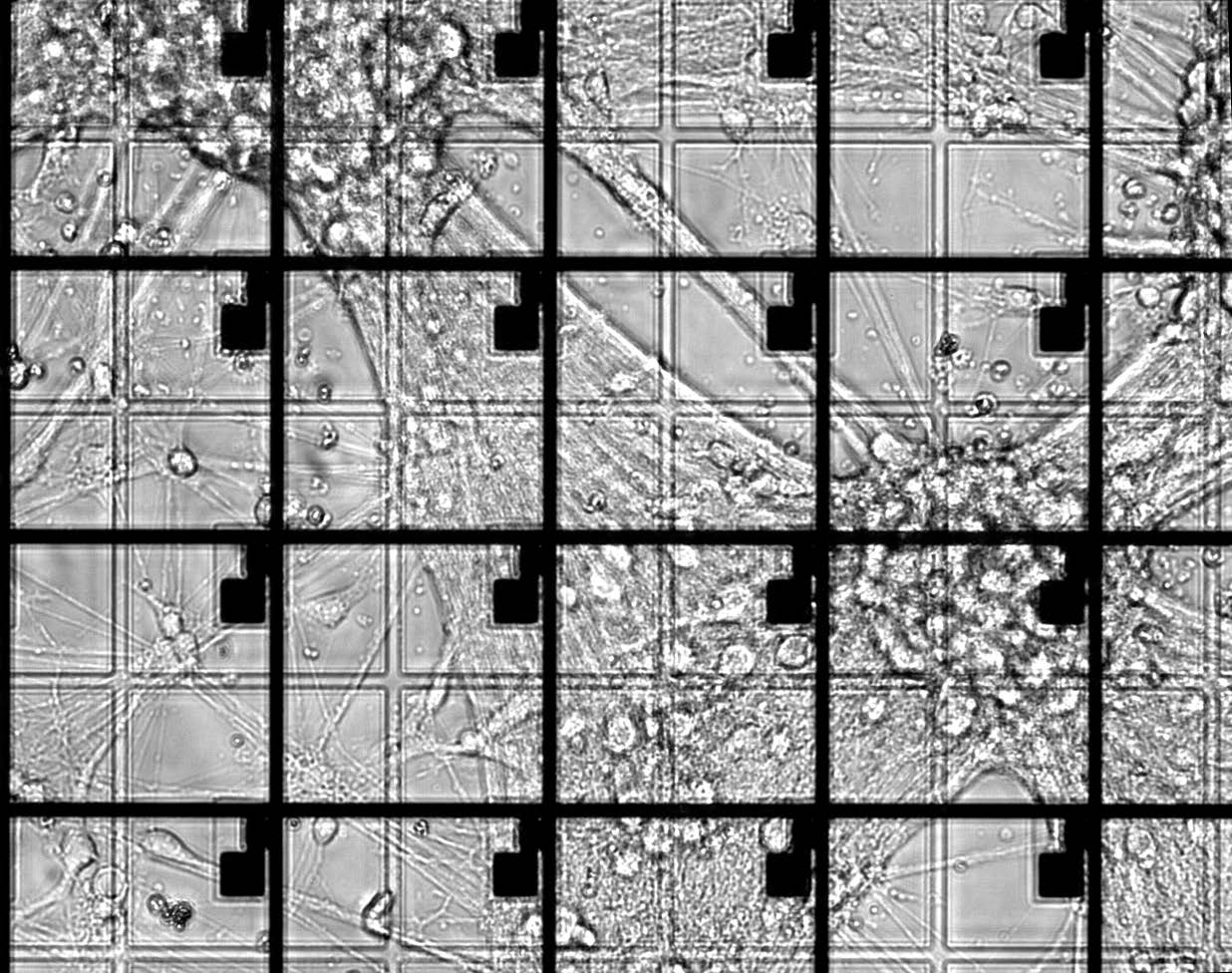 Primary cortical neuron cells culture on a TFT array device.